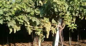 Terminato a Torremagggiore l'incontro tra agricoltori,commercianti e istituzioni. Resta il basso prezzo di acquisto dell'uva da vino
