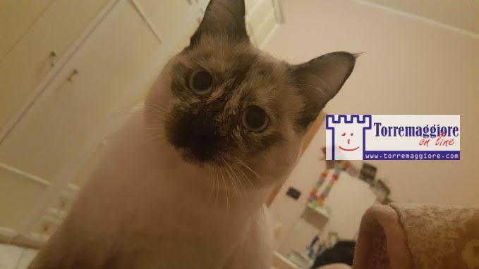 Smarrito gatto siamese a Torremaggiore dal 1 marzo