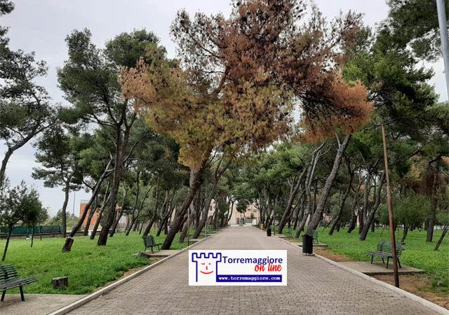 Svariati alberi secchi nella Pineta Comunale Baden Powell di Torremaggiore. A quando un serio rilancio del polmone verde locale che vada a preservare la nostra identità nel solo interesse della comunità?